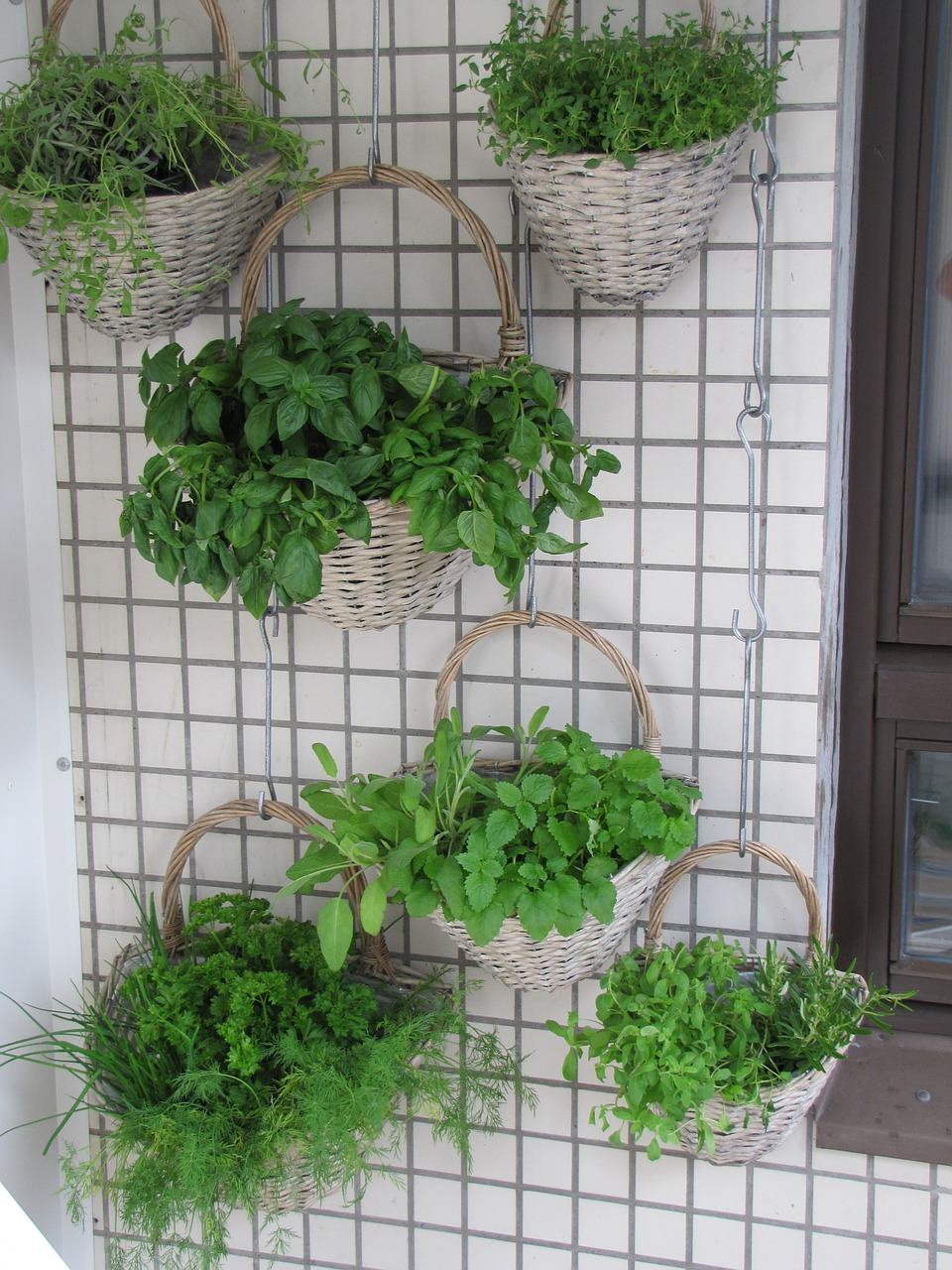 Herbs growing in baskets hanging on wall