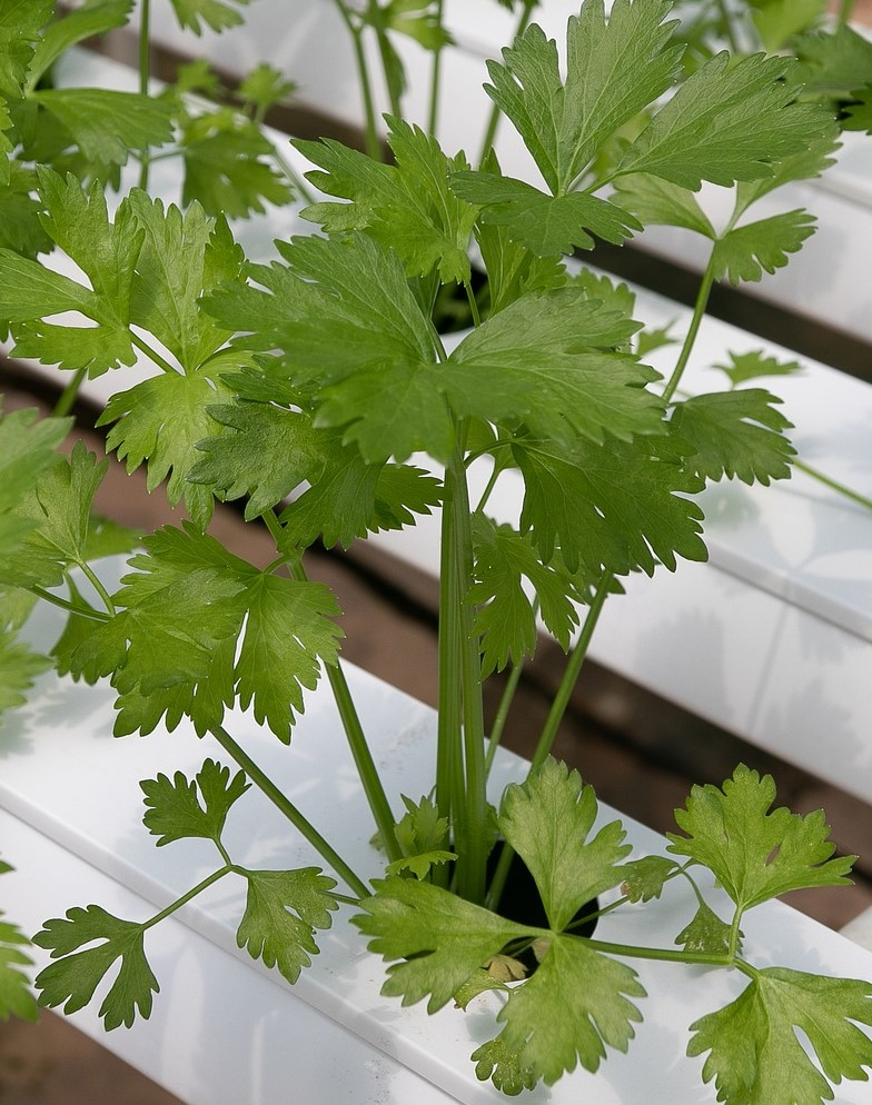 parsley growing in hydroponic planter
